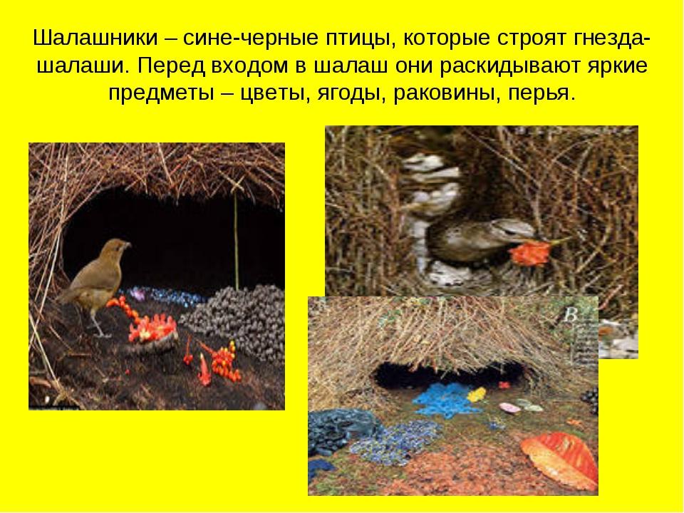 Шалашники – сине-черные птицы, которые строят гнезда-шалаши. Перед входом в ш...