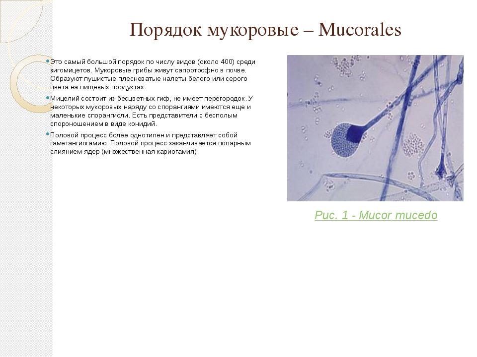 Порядок мукоровые – Mucorales Это самый большой порядок по числу видов (около...