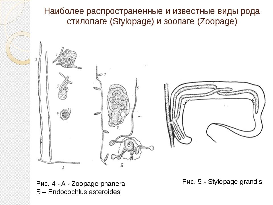 Наиболее распространенные и известные виды рода стилопаге (Stylopage) и зоопа...
