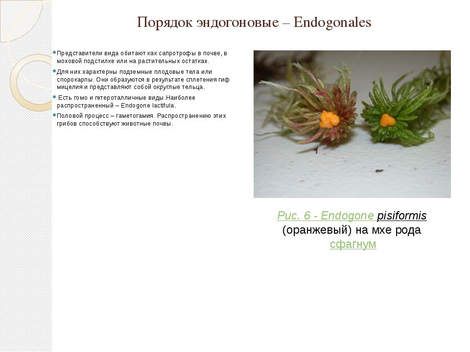 Порядок эндогоновые – Endogonales Представители вида обитают как сапротрофы в...