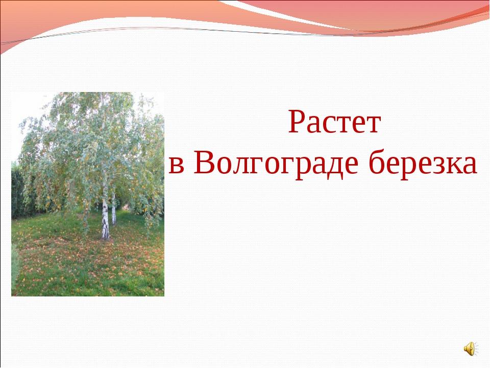 Растет в Волгограде березка