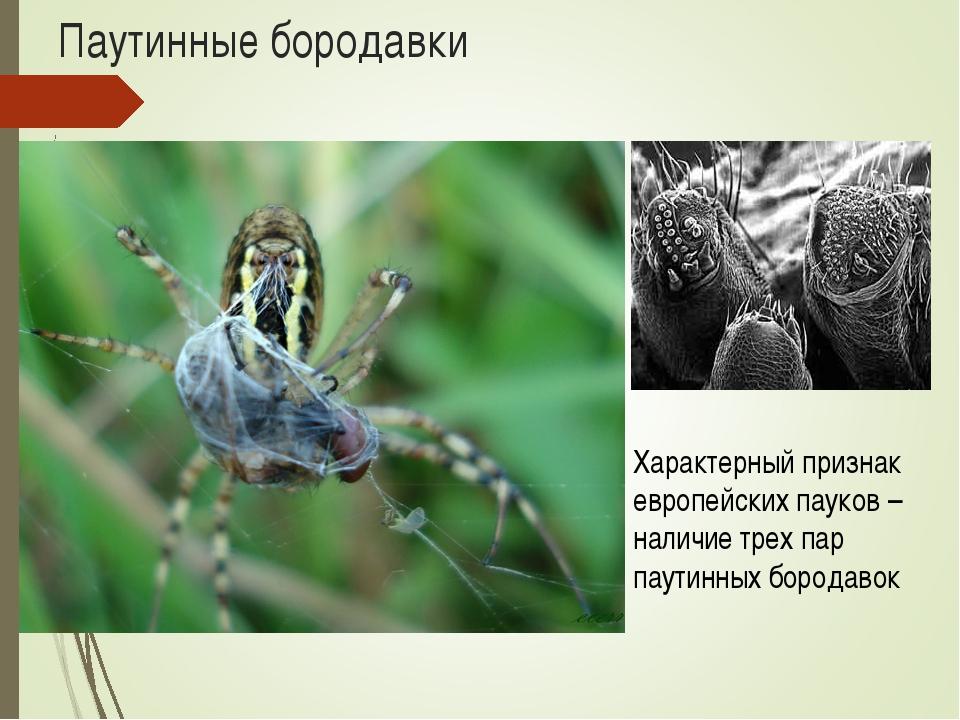 Паутинные бородавки Характерный признак европейских пауков – наличие трех пар...