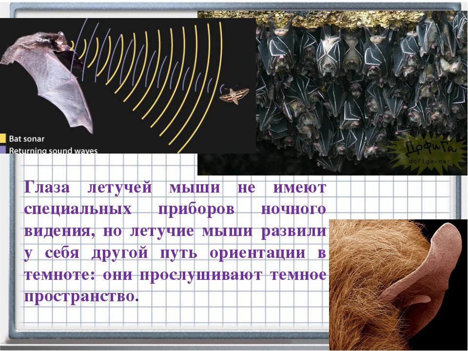 Глаза летучей мыши не имеют специальных приборов ночного видения, но летучие...