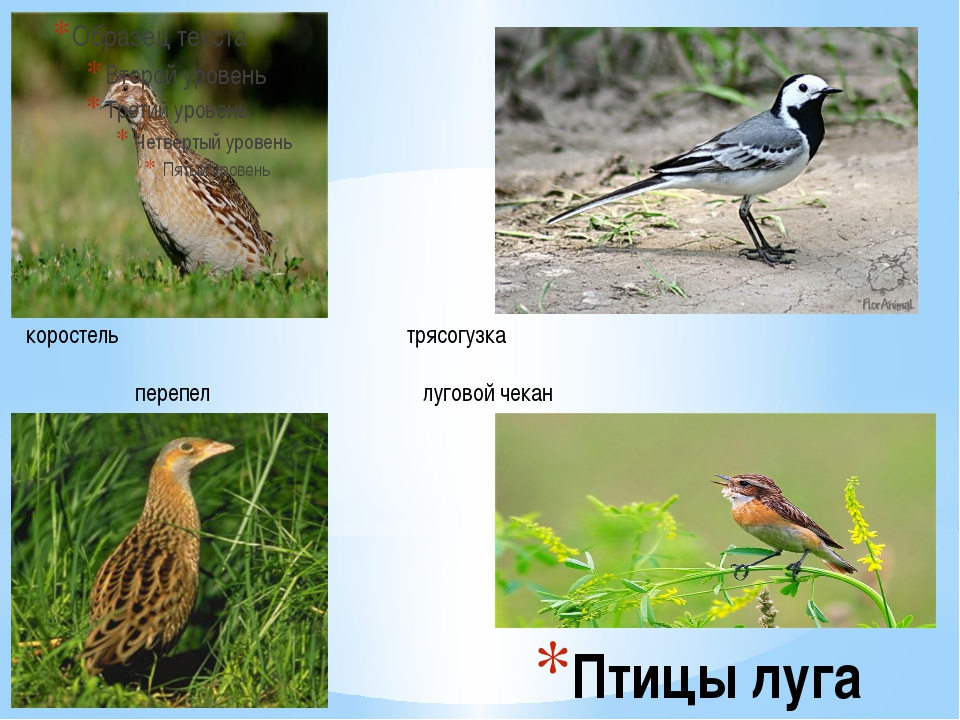 Птицы луга коростель трясогузка перепел луговой чекан