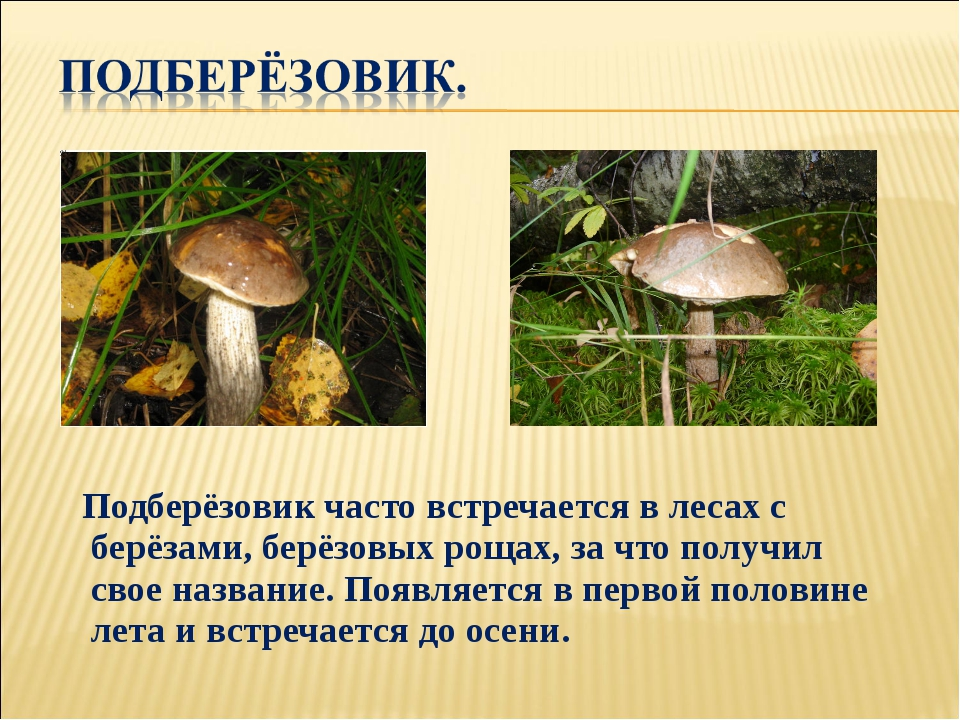 Подберёзовик часто встречается в лесах с берёзами, берёзовых рощах, за что п...