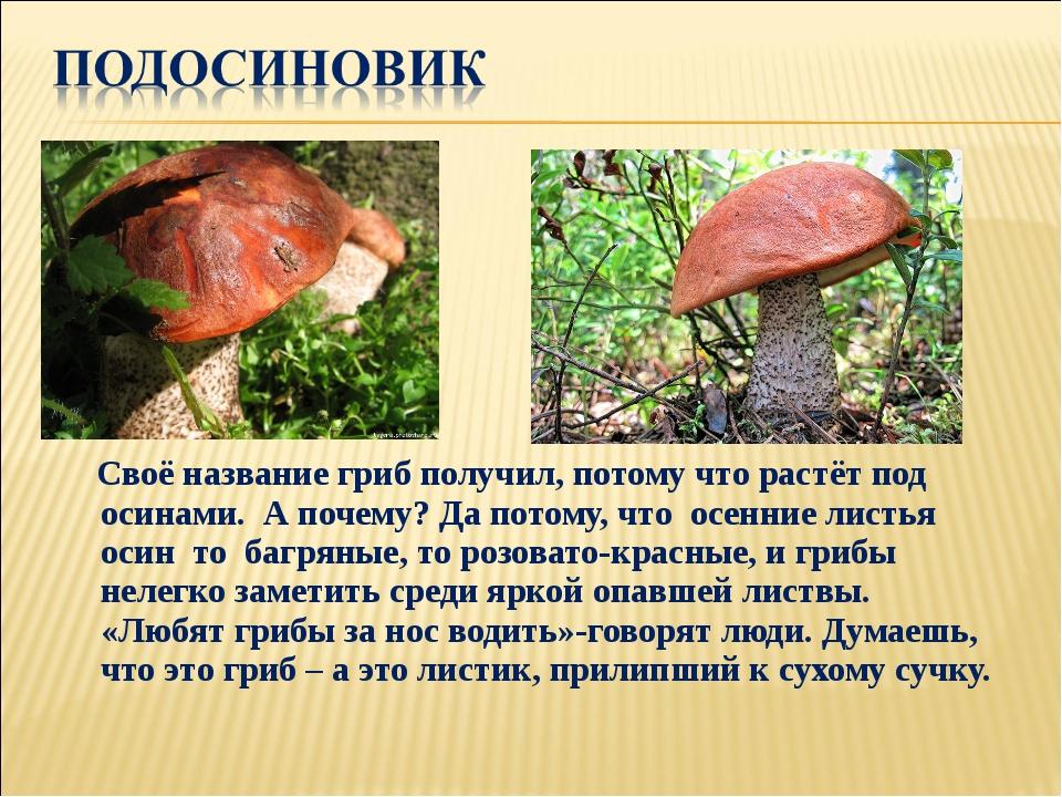 Своё название гриб получил, потому что растёт под осинами. А почему? Да пото...