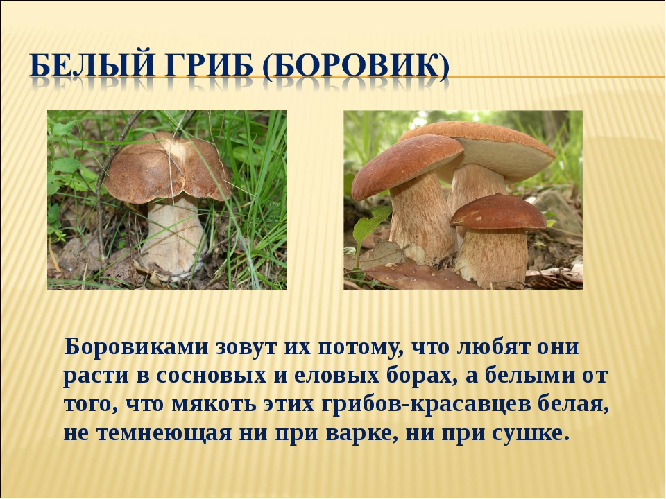 Боровиками зовут их потому, что любят они расти в сосновых и еловых борах, а...