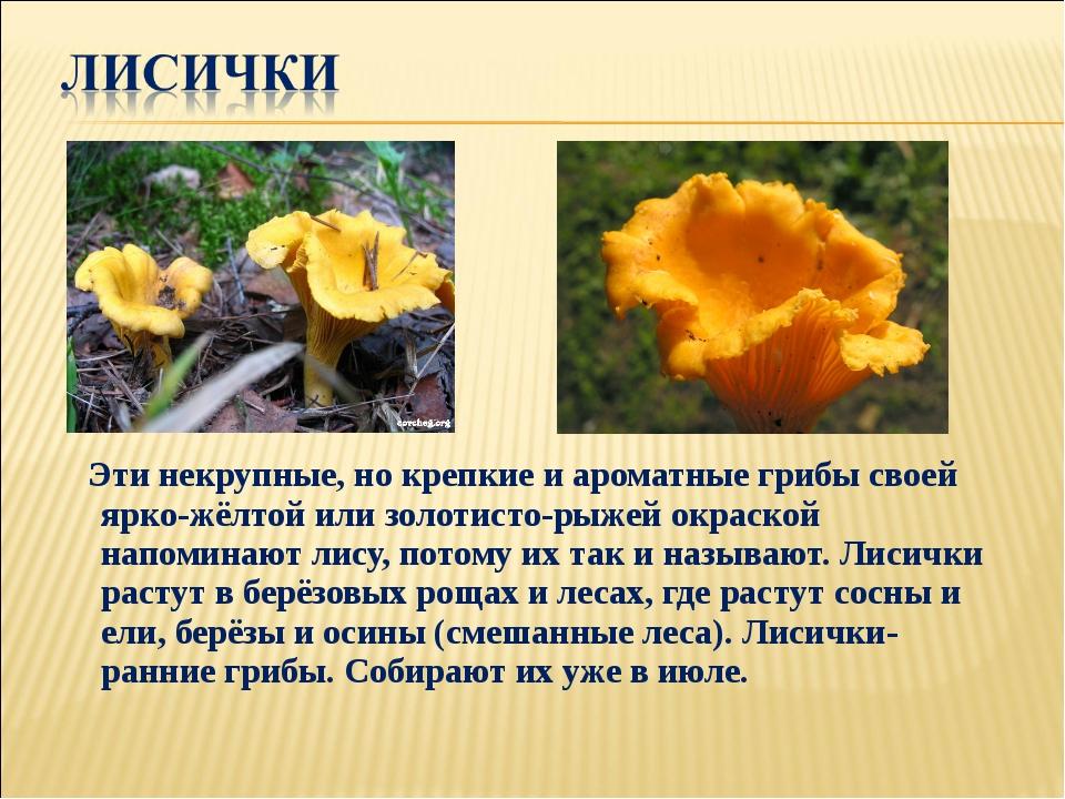 Эти некрупные, но крепкие и ароматные грибы своей ярко-жёлтой или золотисто-...
