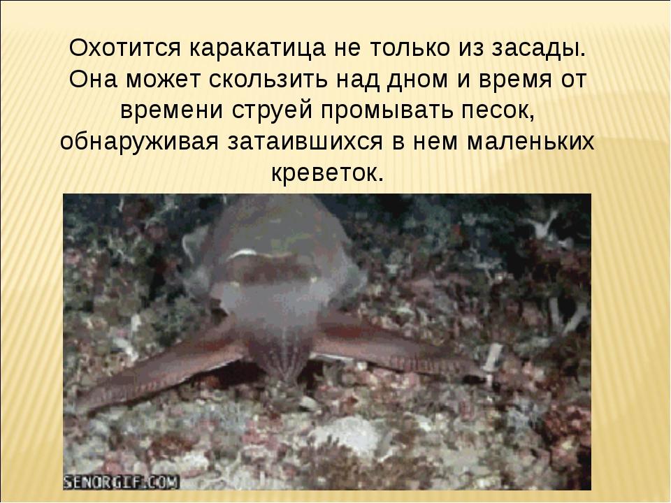 Охотится каракатица не только из засады. Она может скользить над дном и время...