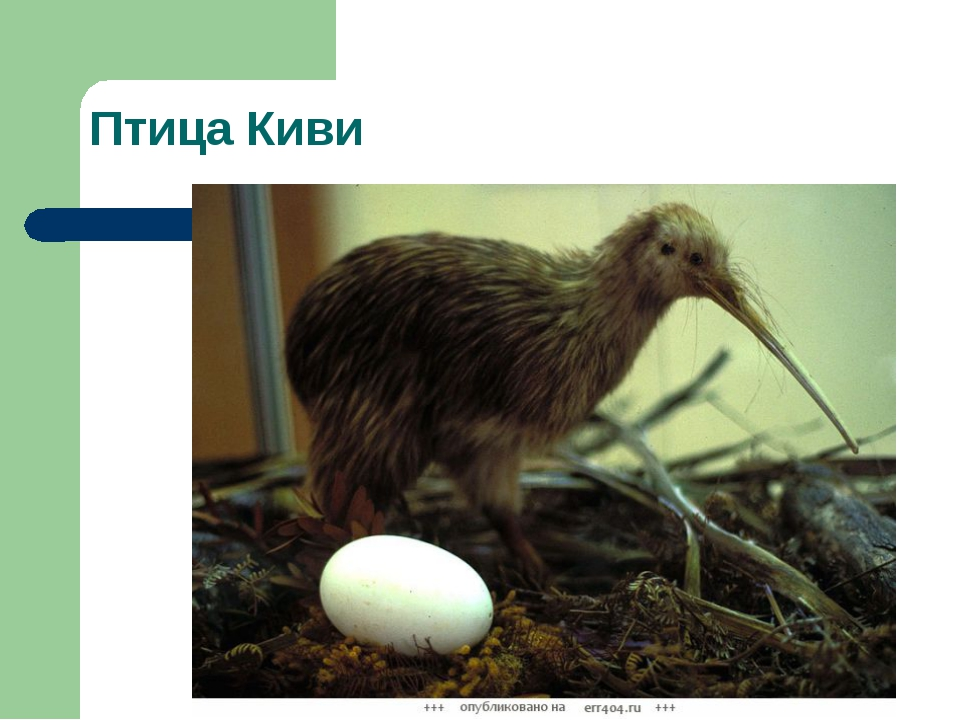 Птица Киви