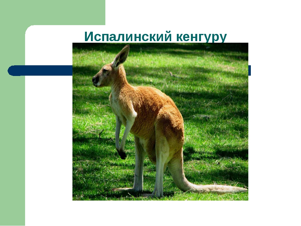 Испалинский кенгуру