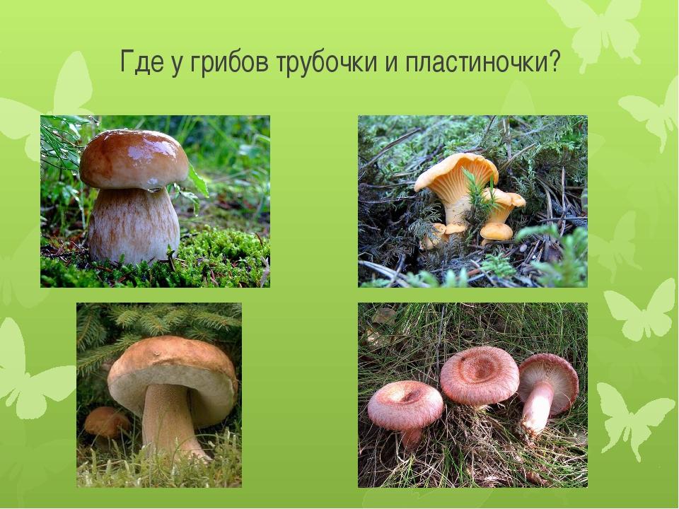 Где у грибов трубочки и пластиночки?