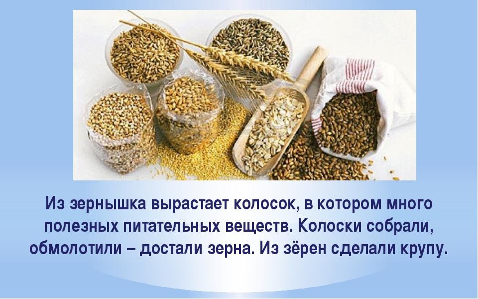 Из зернышка вырастает колосок, в котором много полезных питательных веществ....