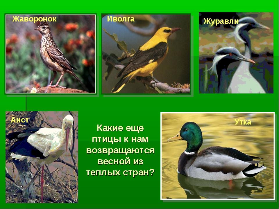 Какие еще птицы к нам возвращаются весной из теплых стран? Жаворонок Иволга Ж...