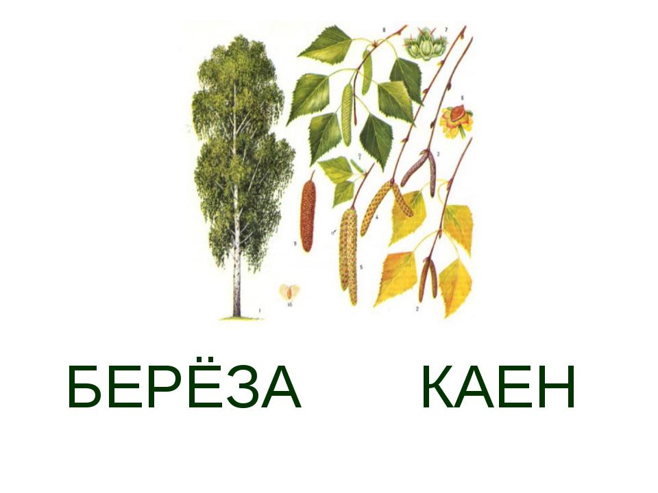 БЕРЁЗА КАЕН