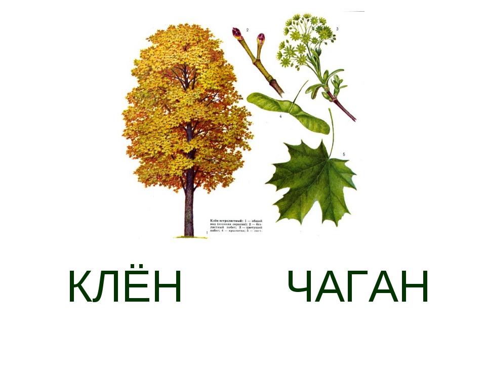 КЛЁН ЧАГАН