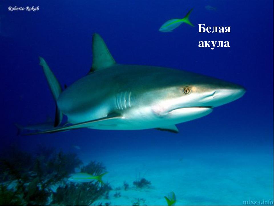Осьминог Белая акула