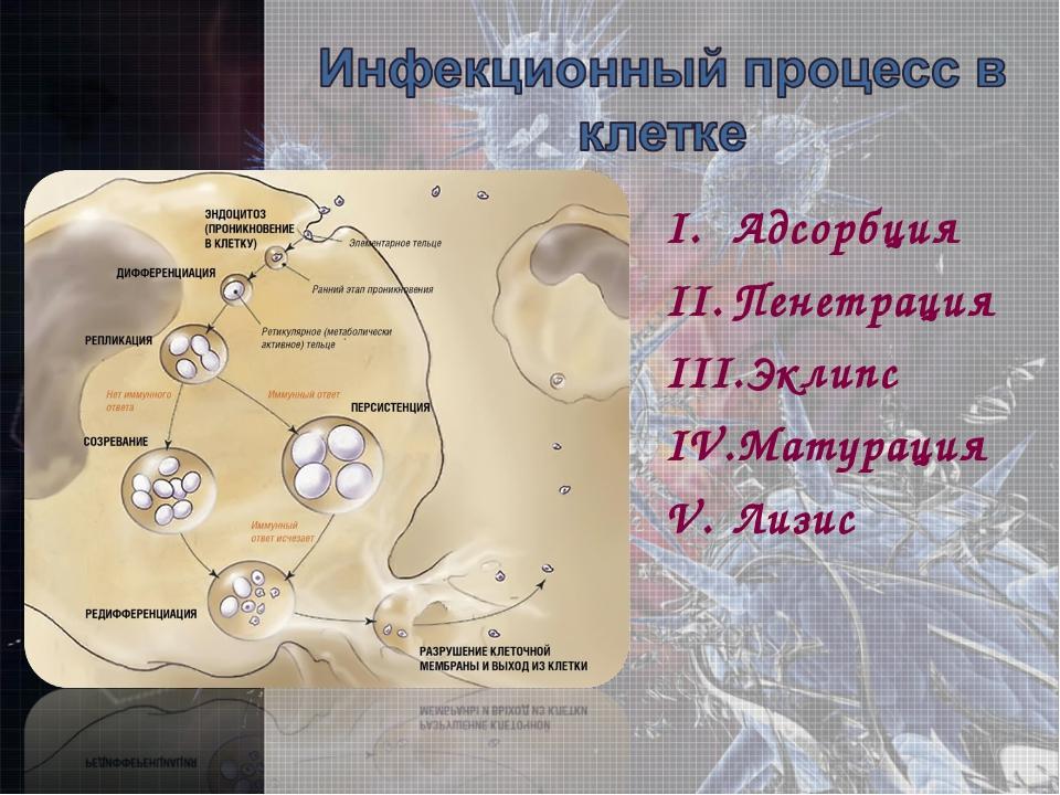 Адсорбция Пенетрация Эклипс Матурация Лизис