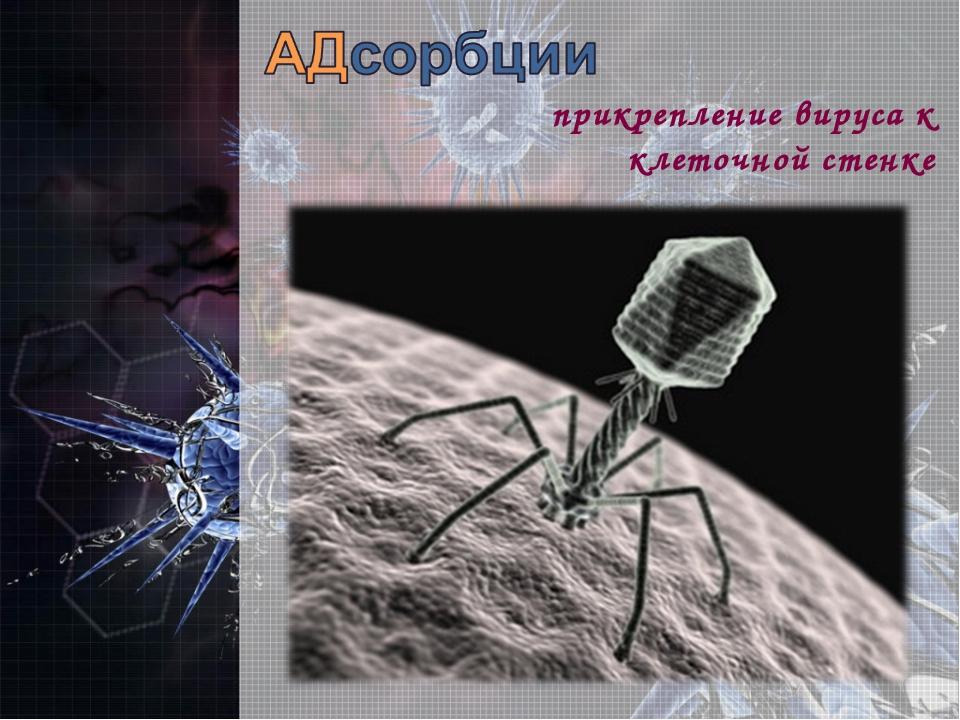 прикрепление вируса к клеточной стенке