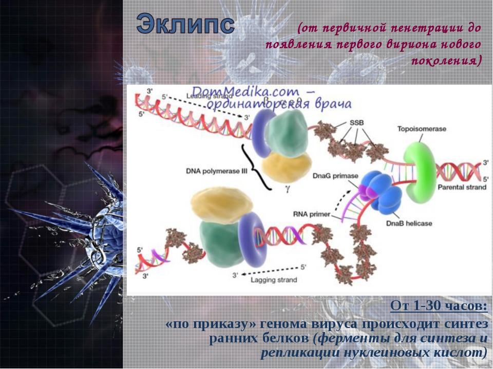 От 1-30 часов: «по приказу» генома вируса происходит синтез ранних белков (фе...