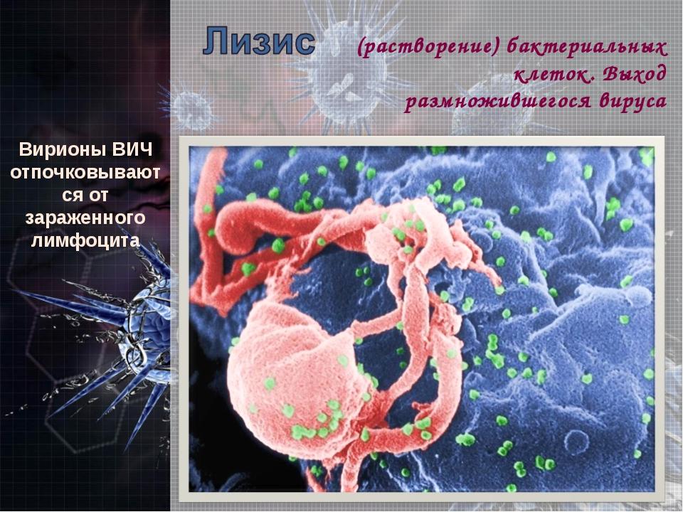 ВирионыВИЧ отпочковываются от зараженного лимфоцита (растворение) бактериаль...