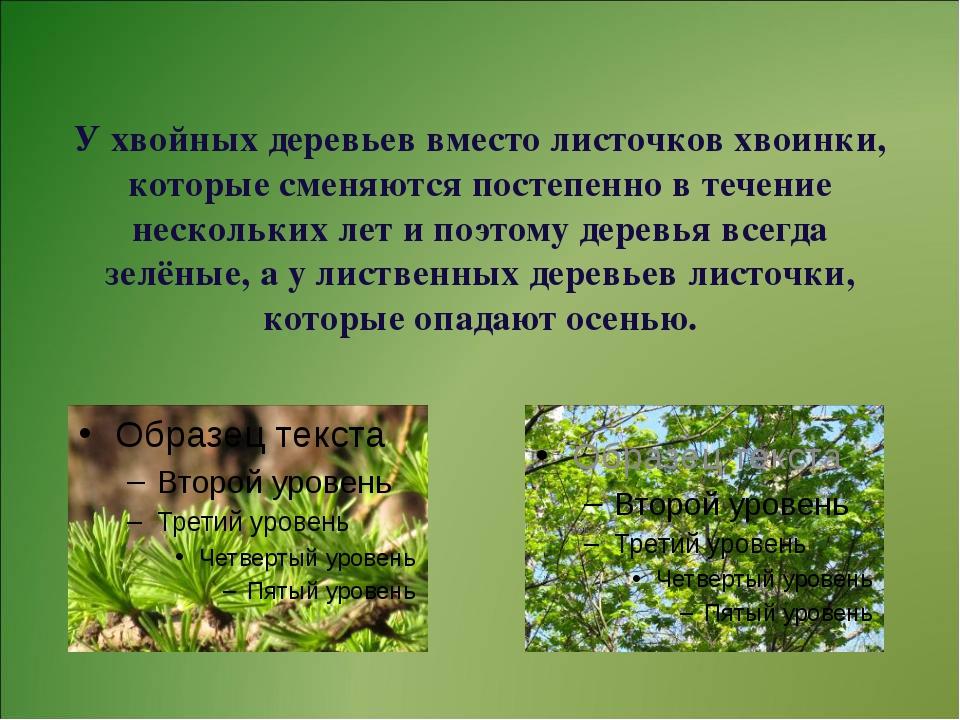 У хвойных деревьев вместо листочков хвоинки, которые сменяются постепенно в...