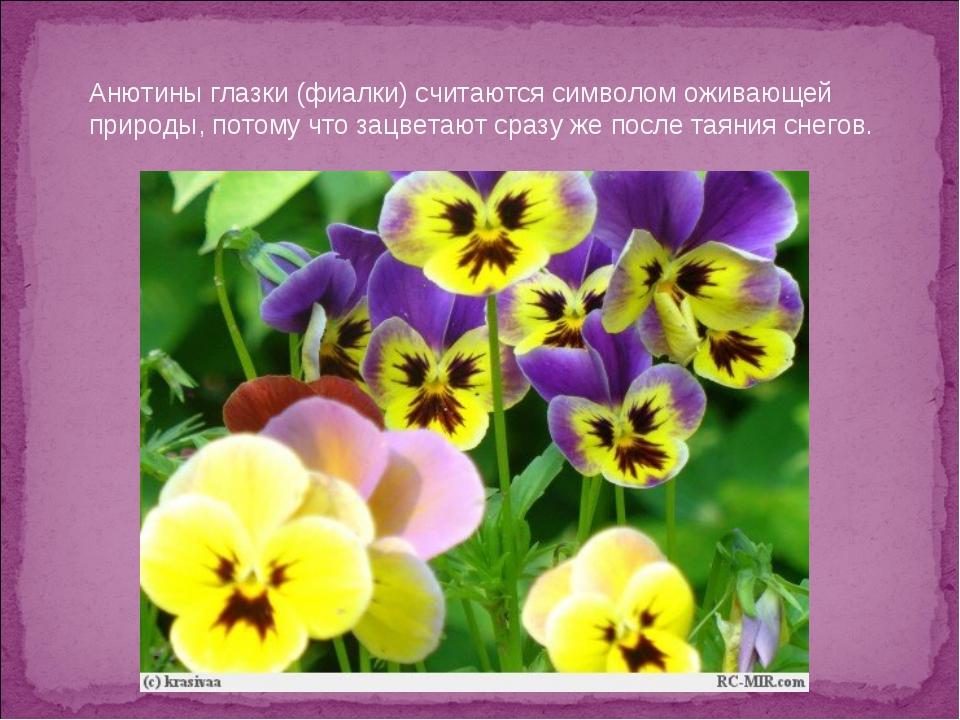 Анютины глазки (фиалки) считаются символом оживающей природы, потому что зацв...