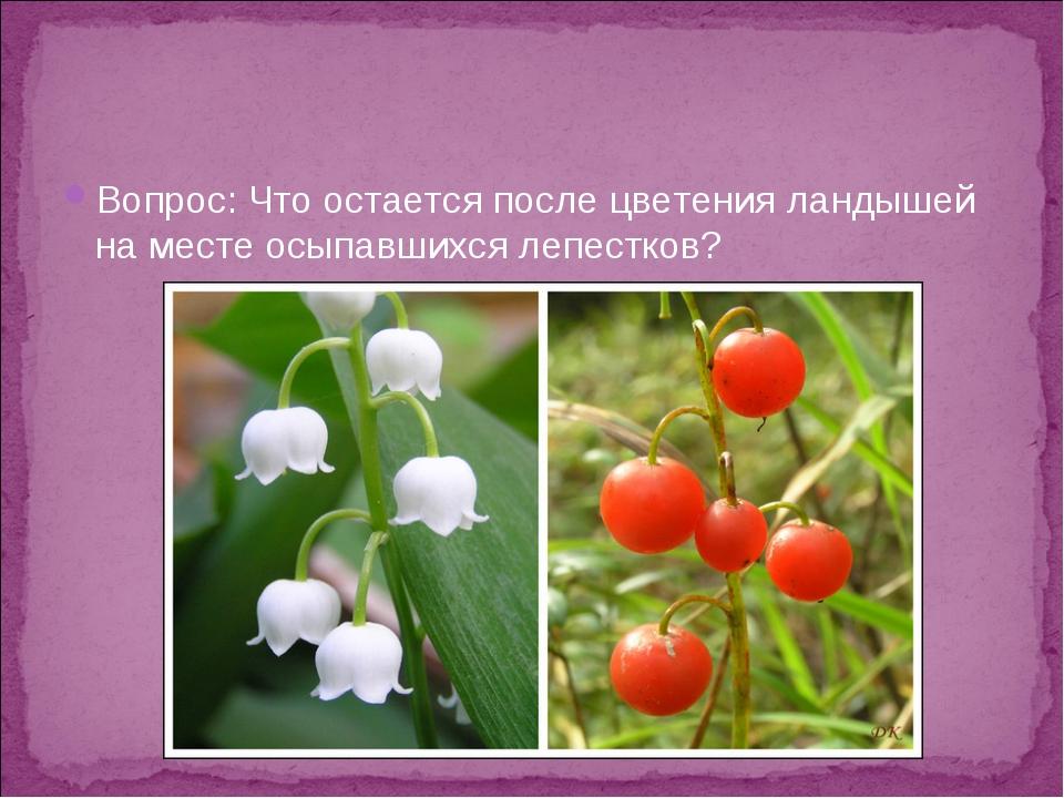 Вопрос: Что остается после цветения ландышей на месте осыпавшихся лепестков?