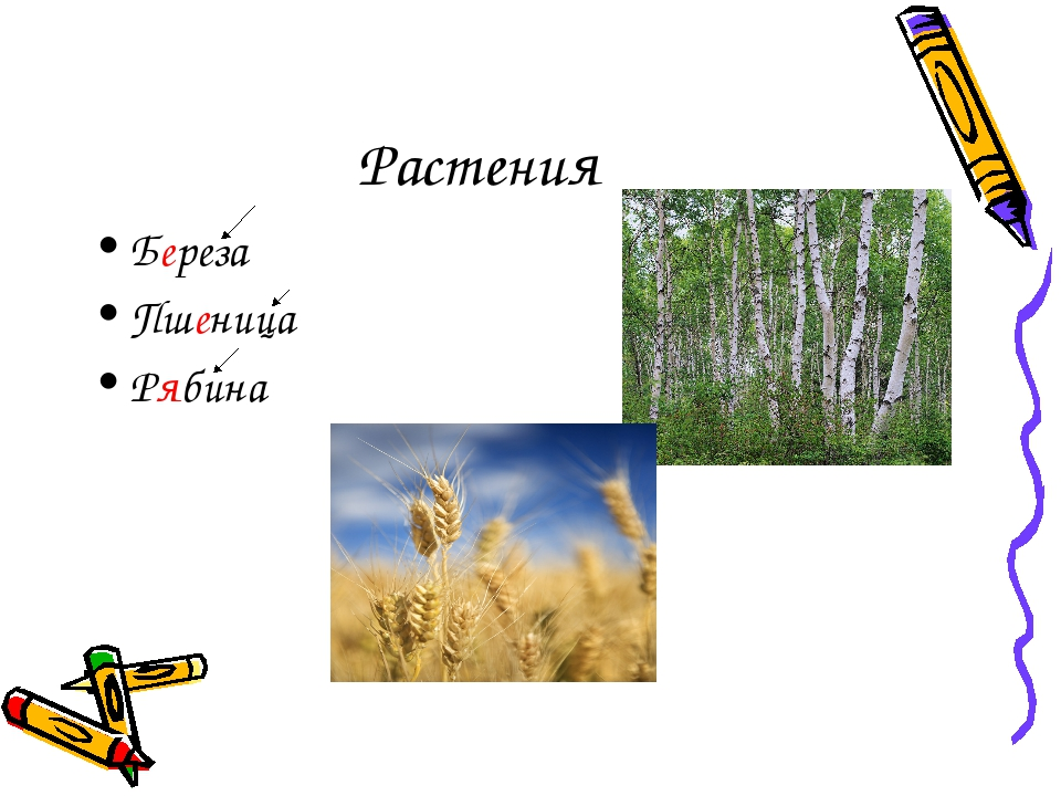 Растения Береза Пшеница Рябина