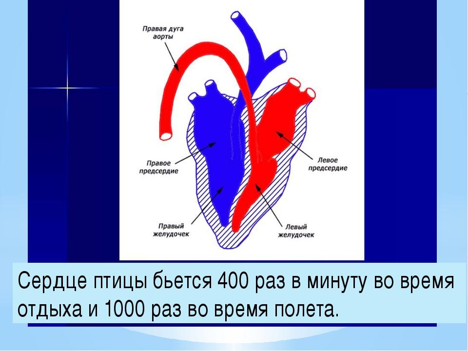 картинки строения сердца птицы тяжелым