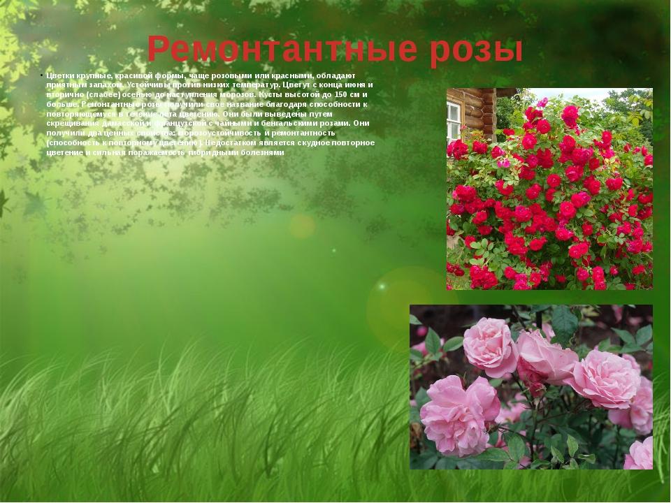 Ремонтантные розы Цветки крупные, красивой формы, чаще розовыми или красными,...