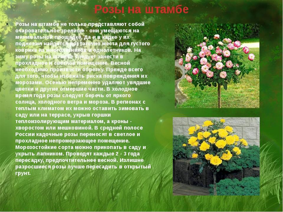 Розы на штамбе Розы на штамбе не только представляют собой очаровательное зре...