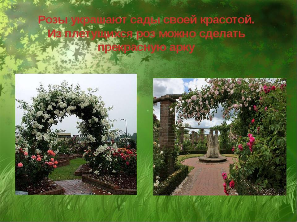 Розы украшают сады своей красотой. Из плетущихся роз можно сделать прекрасну...