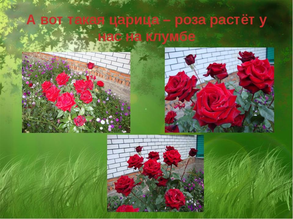А вот такая царица – роза растёт у нас на клумбе