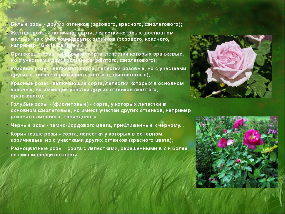 Белые розы - других оттенков (розового, красного, фиолетового); Жёлтые розы...