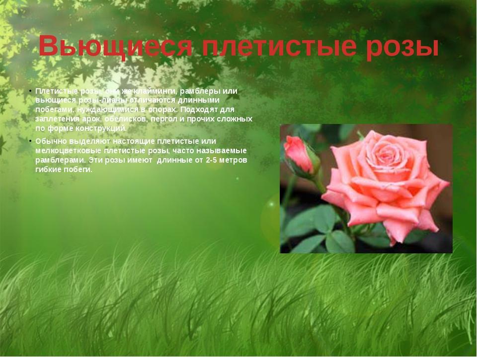 Вьющиеся плетистые розы Плетистые розы, они же клайминги, рамблеры или вьющие...