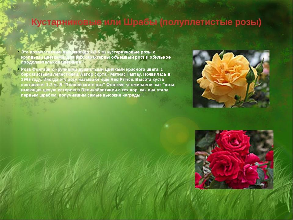 Кустарниковые или Шрабы (полуплетистые розы) Это прямостоячие, высокие (до 2-...