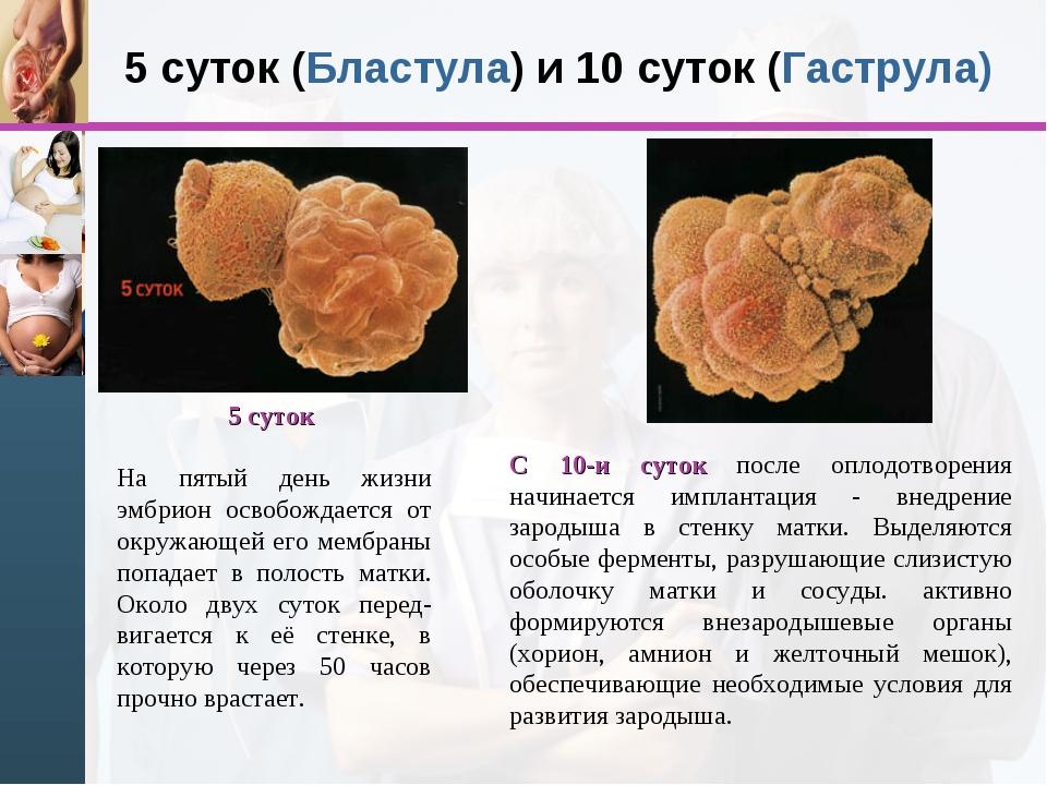 5 суток (Бластула) и 10 суток (Гаструла) 5 суток На пятый день жизни эмбрион...
