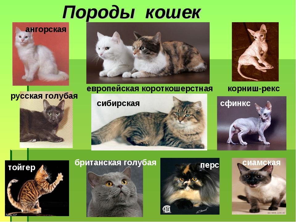 Картинки какие бывают породы кошек