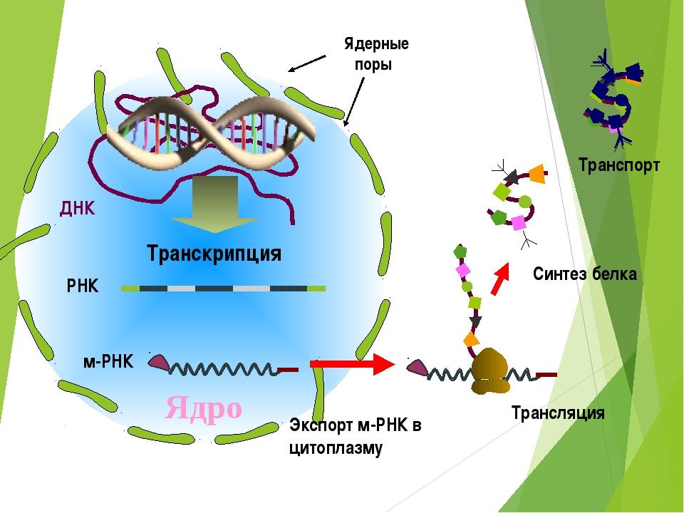 ДНК Ядро Транспорт РНК Транскрипция Ядерные поры м-РНК Экспорт м-РНК в цитопл...