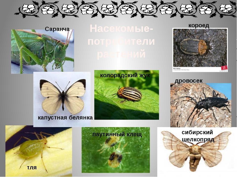 Насекомые-потребители растений дровосек короед сибирский шелкопряд колорадски...