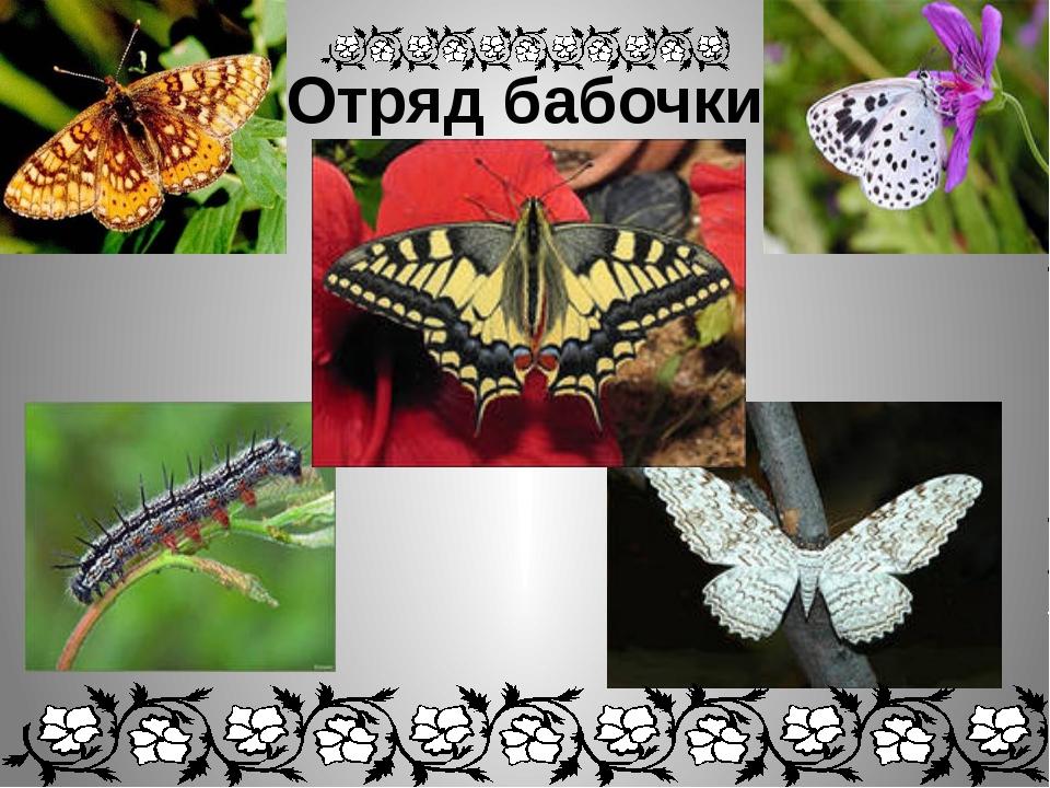 Отряд бабочки