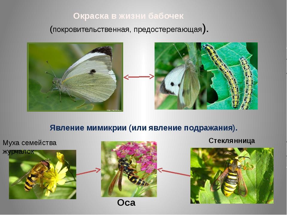 Окраска в жизни бабочек (покровительственная, предостерегающая). Явление мими...