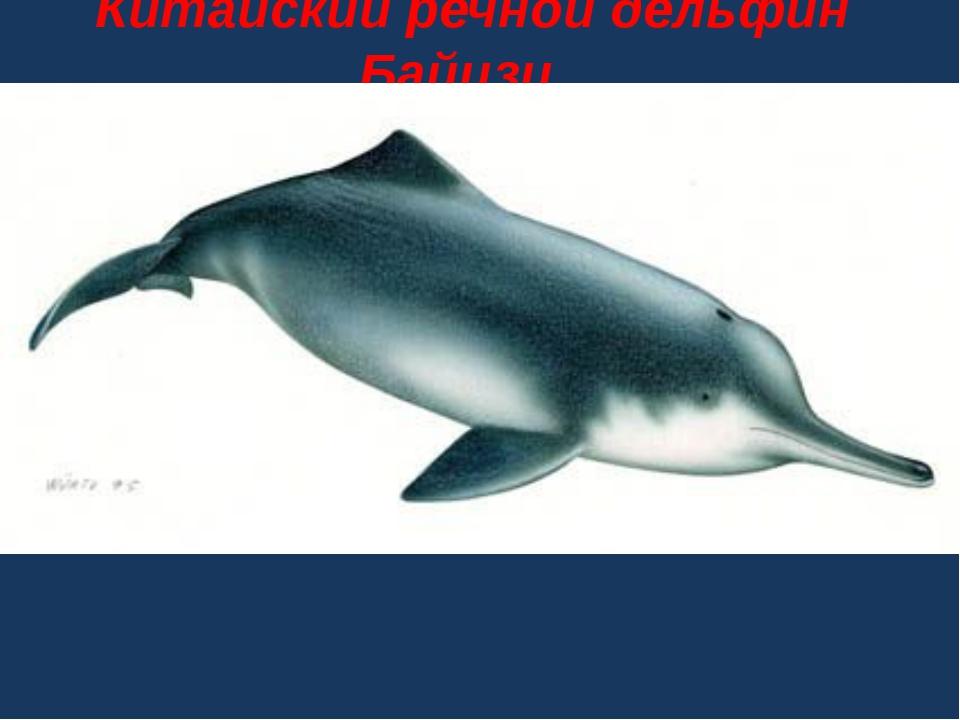 Китайский речной дельфин Байцзи