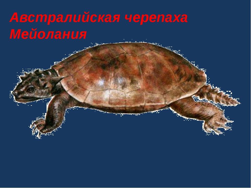 Австралийская черепаха Мейолания