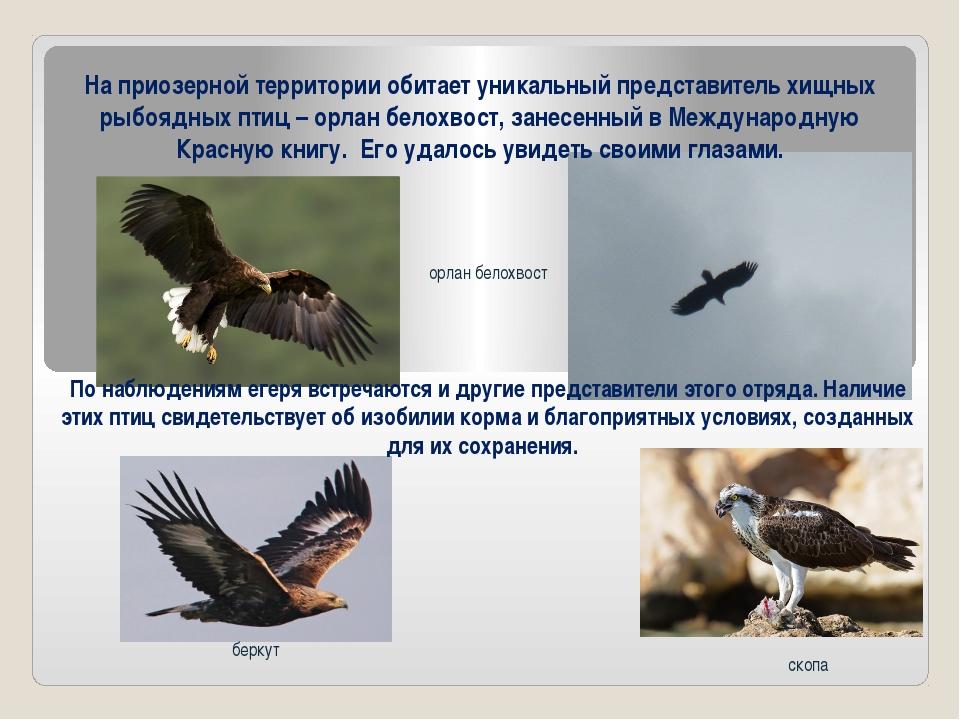 орлан белохвост скопа беркут На приозерной территории обитает уникальный пред...