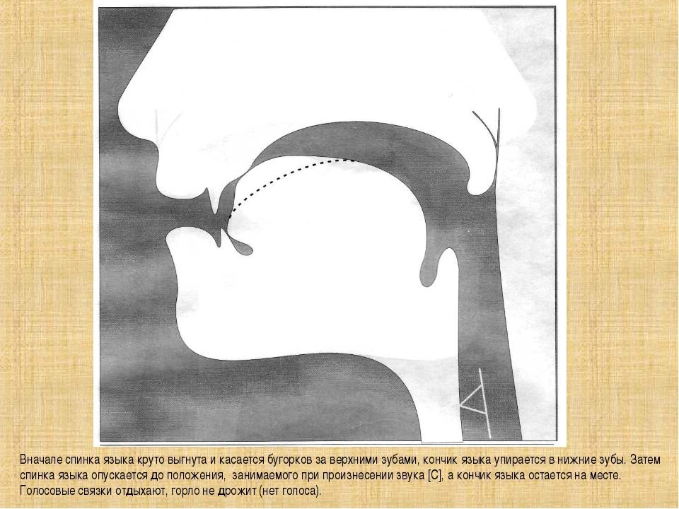 Вначале спинка языка круто выгнута и касается бугорков за верхними зубами, ко...