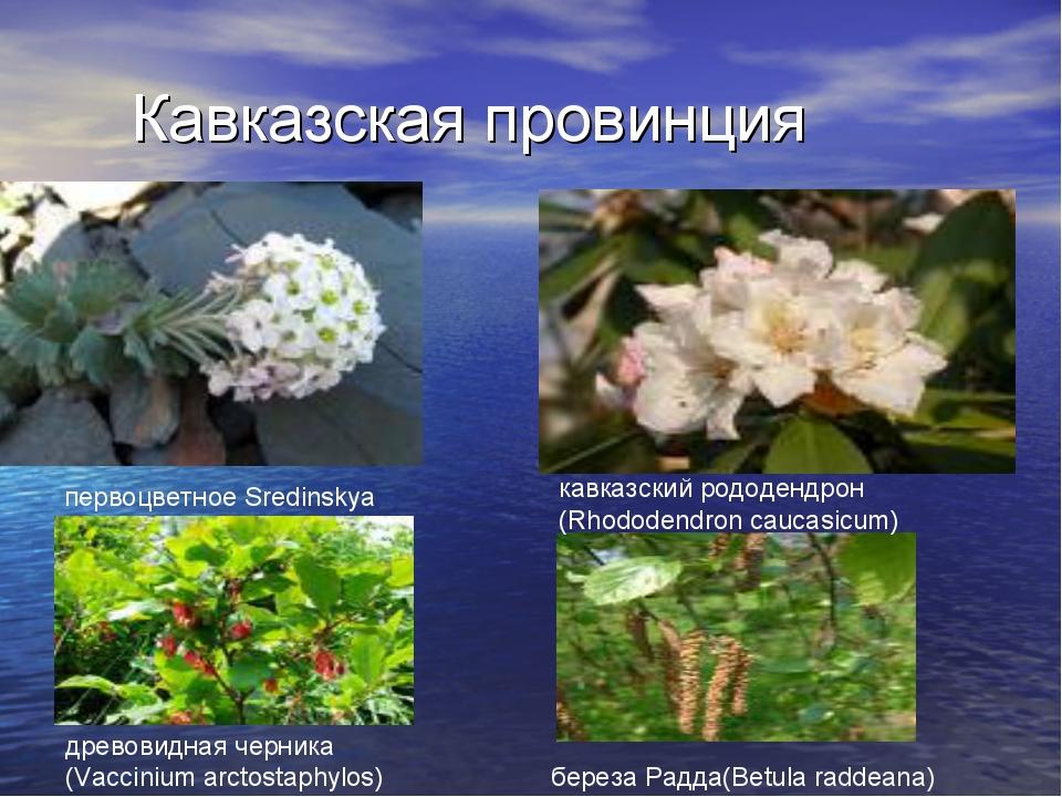 Кавказская провинция первоцветное Sredinskya кавказский рододендрон (Rhododen...