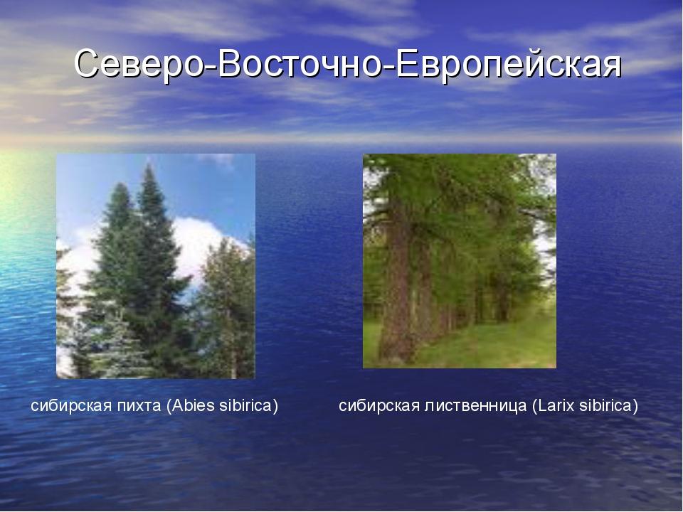Северо-Восточно-Европейская сибирская пихта (Abies sibirica) сибирская листве...