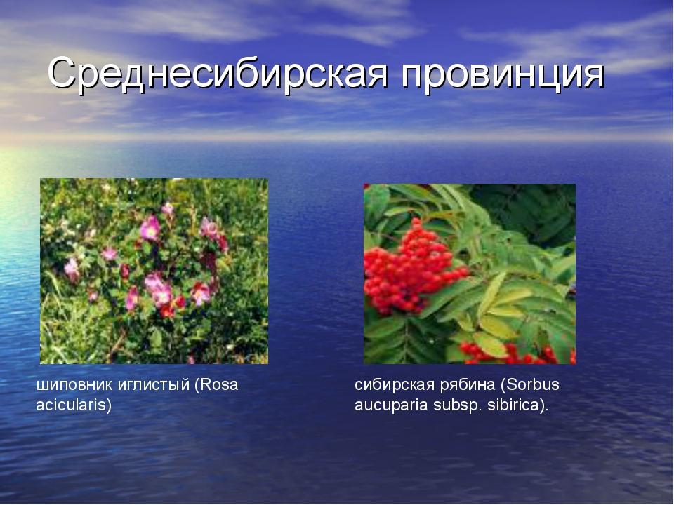 Среднесибирская провинция сибирская рябина (Sorbus aucuparia subsp. sibirica)...